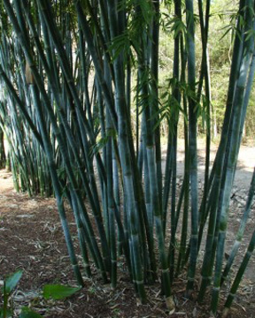 Carter Bamboo, bamboo nursery, Texas bamboo, Gulf Coast bamboo, Houston bamboo, tropical bamboo, non-invasive bamboo, clumping bamboo, ornamental bamboo, bamboo garden, Steve Carter bamboo, bamboo Steve, Mercer bamboo, Texas Bamboo Society, American Bamboo Society, Bambooweb, plant finder, bamboo source, bamboo Texas, retail bamboo, Bamboo Outlaw