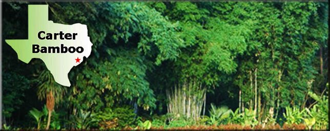 Carter Bamboo, bamboo nursery, Texas bamboo, Gulf Coast bamboo, Houston bamboo, tropical bamboo, non-invasive bamboo, clumping bamboo, ornamental bamboo, bamboo garden, Steve Carter bamboo, bamboo Steve, Mercer bamboo, Texas Bamboo Society, American Bamboo Society, Bambooweb, plant finder, bamboo source, bamboo Texas, retail bamboo, Bamboo Outlaw, citrus trees, fruit trees